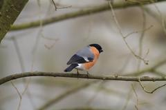 Bullfinch (Pyrrhula-pyrrhula) - stock photo