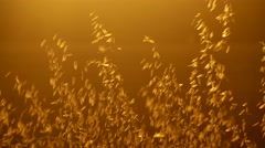 Golden hours sun set south france herbs plants cereals Stock Footage