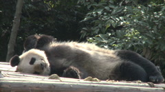Giant Panda sleeping in sun, Chengdu, China - stock footage