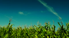 Hued corn field, august sun,wind,plane traces,  white butterfly - stock footage