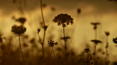 Golden hours sun set south france plants details Stock Footage