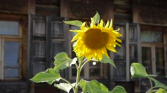 Tuscany sunflowers Stock Footage
