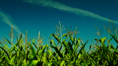 Hued corn field with slant of wind on a sunny day,plane traces, pan, blue sky - stock footage
