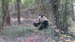 Giant Panda eats bamboo in woods, China - stock footage