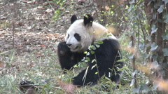 Giant Panda, Chengdu research center, China - stock footage