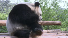 Giant panda grooming, Chengdu, China - stock footage