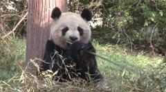 Giant panda beneath tree, eating bamboo Stock Footage