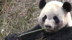 Giant panda eats bamboo, Chengdu, China - stock footage