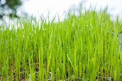 Rice seedlings were grown to a spike. Stock Photos