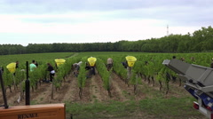Harvest of a parcel of white vine time lapse Stock Footage