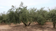 Olive Trees With Green Olives Stock Footage