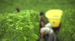 Manual harvesting to better select and protect fruits Stock Footage