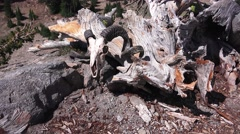 Wood grain on dead tree and ram skull Stock Footage