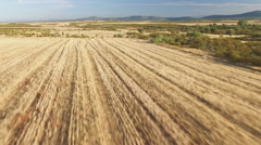 Aerial view of pointer pedigree dog running on stubble Stock Footage