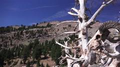 Ram's skull in dead tree ,alpine setting Stock Footage