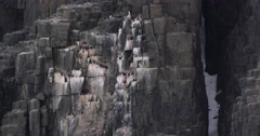 Guillemots nesting on Arctic Cliff Face Stock Footage