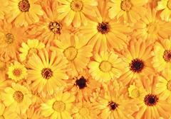 Yellow daisy-gerbera as background and pattern - stock photo