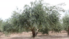 Olive Tree With Green Olives Stock Footage