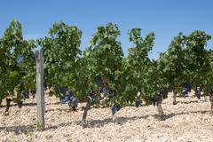 Vineyards in rows. Seedlings vines.Graft of the vines. Stock Photos