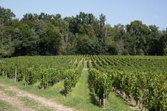 Vineyards in rows. Seedlings vines.Graft of the vines. - stock photo