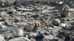 Red-fronted Brown Lemur family walking to waterhole in the dry deciduous fore Stock Footage