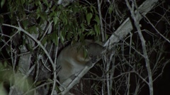 Red-tailed Sportive Lemur feeding in the night in the dry deciduous forests o Stock Footage