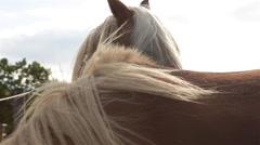 Brown horses looking at camera 04 Stock Footage
