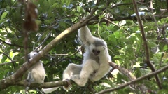 Silky Sifaka baby playing in the rainforest of Madagascar 5 Stock Footage