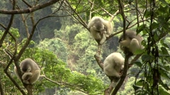 Silky Sifaka family resting in tree in the rainforest of Madagascar 2 Stock Footage