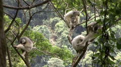 Silky Sifaka family resting in tree in the rainforest of Madagascar 3 Stock Footage
