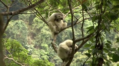 Silky Sifaka family resting in tree in the rainforest of Madagascar 5 Stock Footage