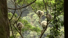 Silky Sifaka family resting in tree in the rainforest of Madagascar 7 Stock Footage