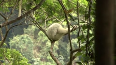Silky Sifaka family resting in tree in the rainforest of Madagascar 6 Stock Footage