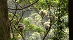 Silky Sifaka family resting in tree in the rainforest of Madagascar 8 Stock Footage