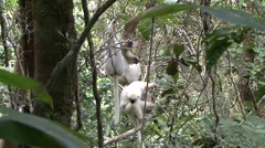 Silky Sifaka feeding in the rainforest of Madagascar 2 Stock Footage