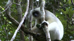 Silky Sifaka feeding in the rainforest of Madagascar 4 Stock Footage