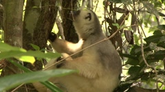 Silky Sifaka looking around in the rainforest of Madagascar 1 Stock Footage