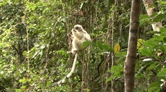 Silky Sifaka mother with baby feeding in the rainforest of Madagascar 2 Stock Footage