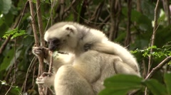 Silky Sifaka mother with baby feeding in the rainforest of Madagascar 3 Stock Footage