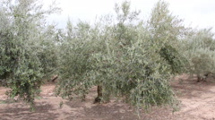 Olive field and trees in southern Spain Stock Footage
