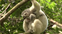 Silky Sifaka mother with baby feeding in the rainforest of Madagascar 6 Stock Footage