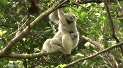 Silky Sifaka mother with baby feeding in the rainforest of Madagascar 8 Stock Footage
