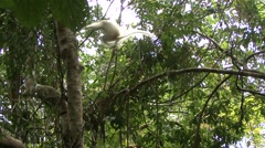 Silky Sifaka moving in trees in the rainforest of Madagascar 3 Stock Footage
