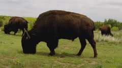 Grazing Buffalo On Green Prairie- Caprock Canyon State Park Stock Footage