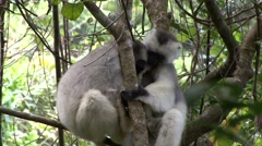 Silky Sifaka playing in the rainforests of Madagascar 1 Stock Footage