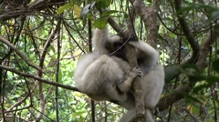 Silky Sifaka playing in the rainforests of Madagascar 2 Stock Footage