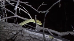 Stock Video Footage of Snake move in the night in the dry deciduous forests of Madagascar