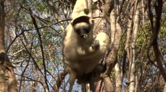 Verreaux Sifaka feeding in the dry deciduous forest floor of Madagascar 1 Stock Footage