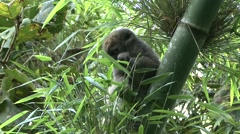 Western Lesser Bamboo Lemur feeding in the rainforest of Madagascar 1 Stock Footage