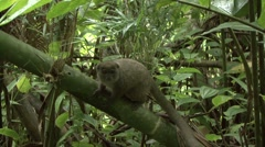 Western Lesser Bamboo Lemur in the bamboo forest in Madagascar Stock Footage